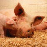 Cochons d'élevage | Prends en soin