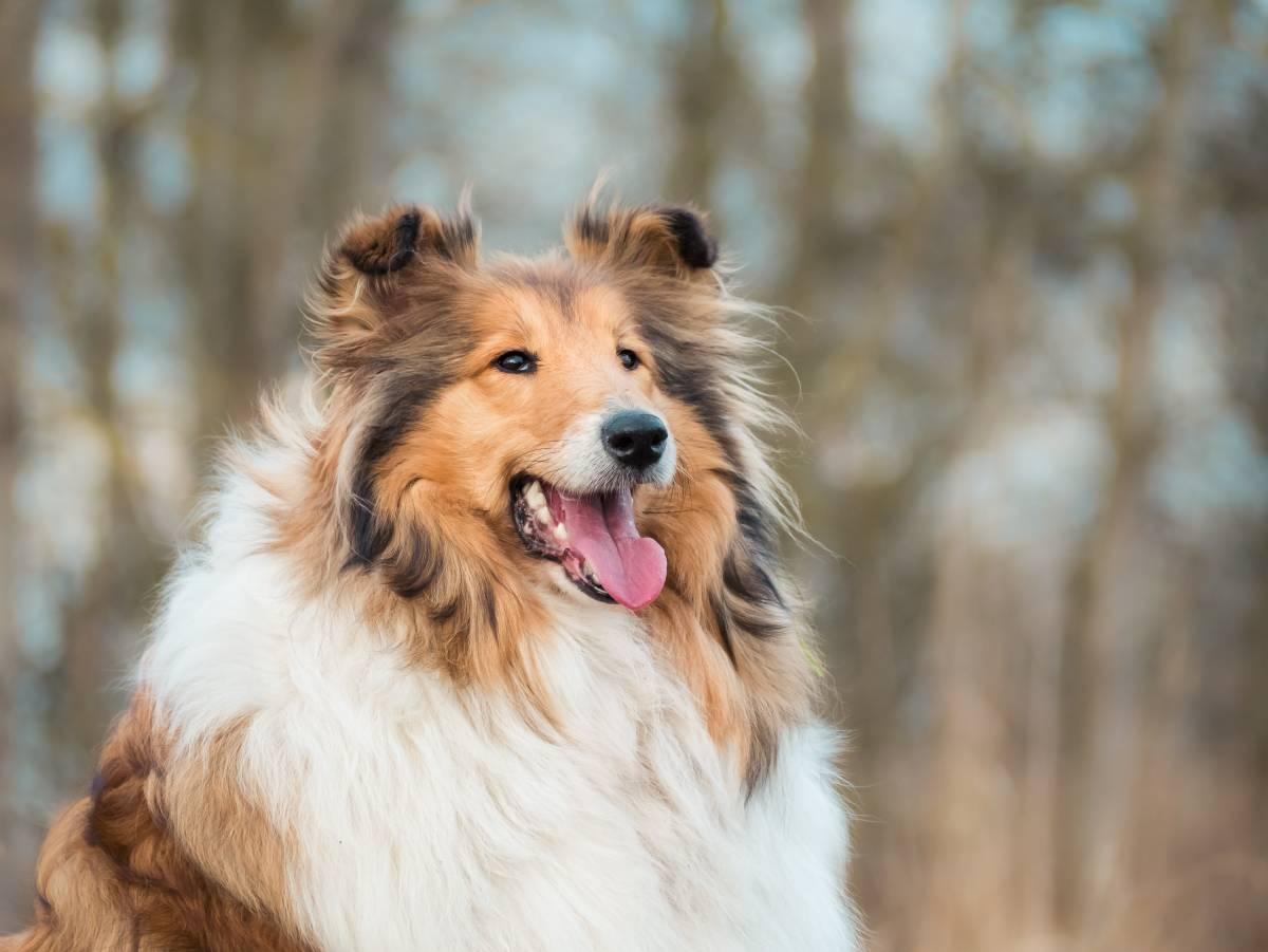 Exemple typique d'un chien à poils longs