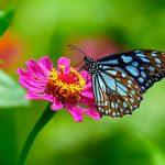 Les papillons sont des insectes pollinisateurs