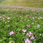 L'astragale, cette plante médicinale chinoise sur Prends en soin