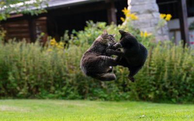 Mon chat se fait attaquer par d'autres chats : que faire ?